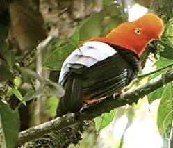Pajaros Raros de Ecuador